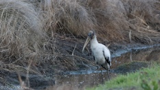 Wood Stork By A Marsh - click to enlarge