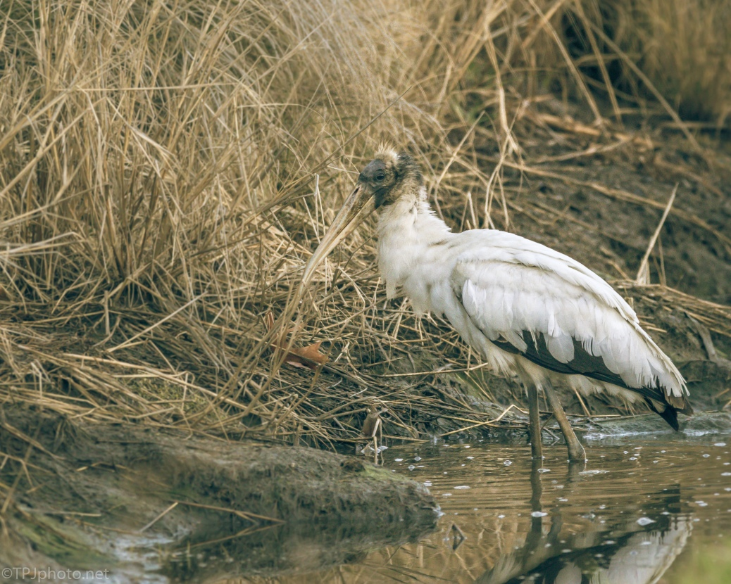 Juvenile Wood Stork Fishing - click to enlarge