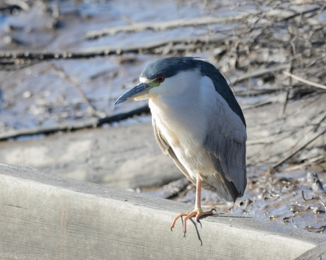 Black-crowned Night Heron, Like A Statue - click to enlarge