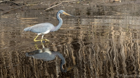 Reflections And A Tricolored Heron - click to enlarge