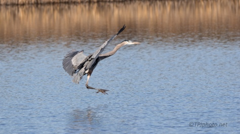 Landing With Flair, Great Blue - click to enlarge