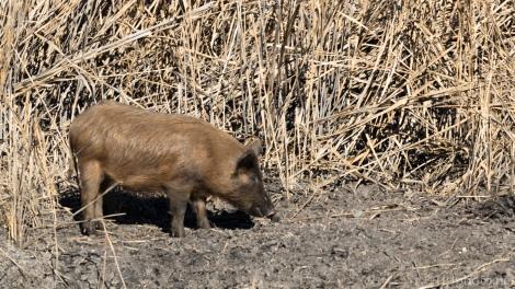 South Carolina Wild Hog - click to enlarge