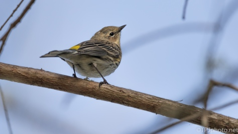 Little Yellow-rumped Warbler - click to enlarge