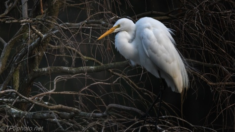 Great Egret Showing Off - click to enlarge