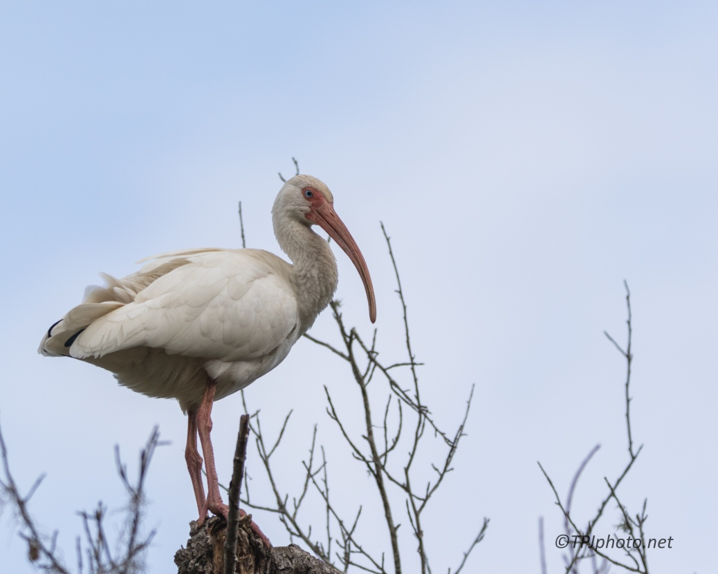 Gray Day Ibis, 2 - click to enlarge