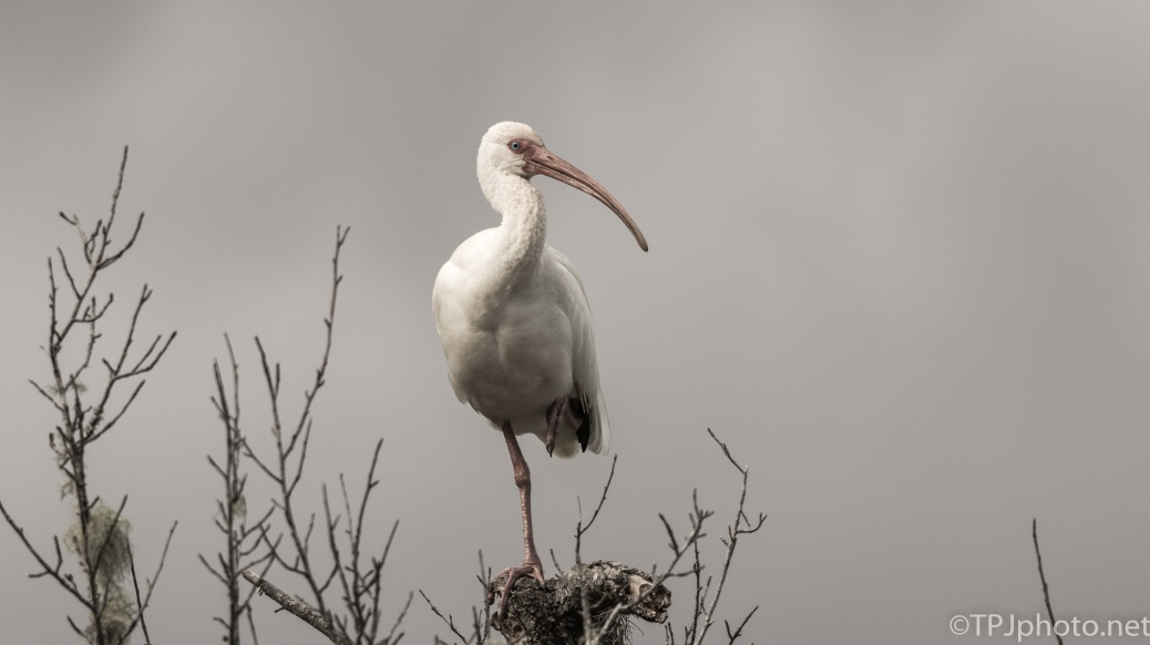Gray Day Ibis - click to enlarge