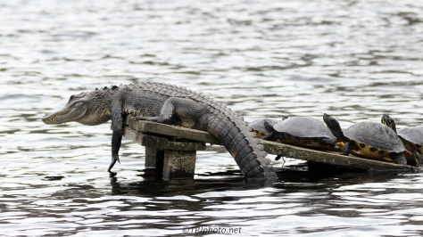 Alligator Antics - click to enlarge