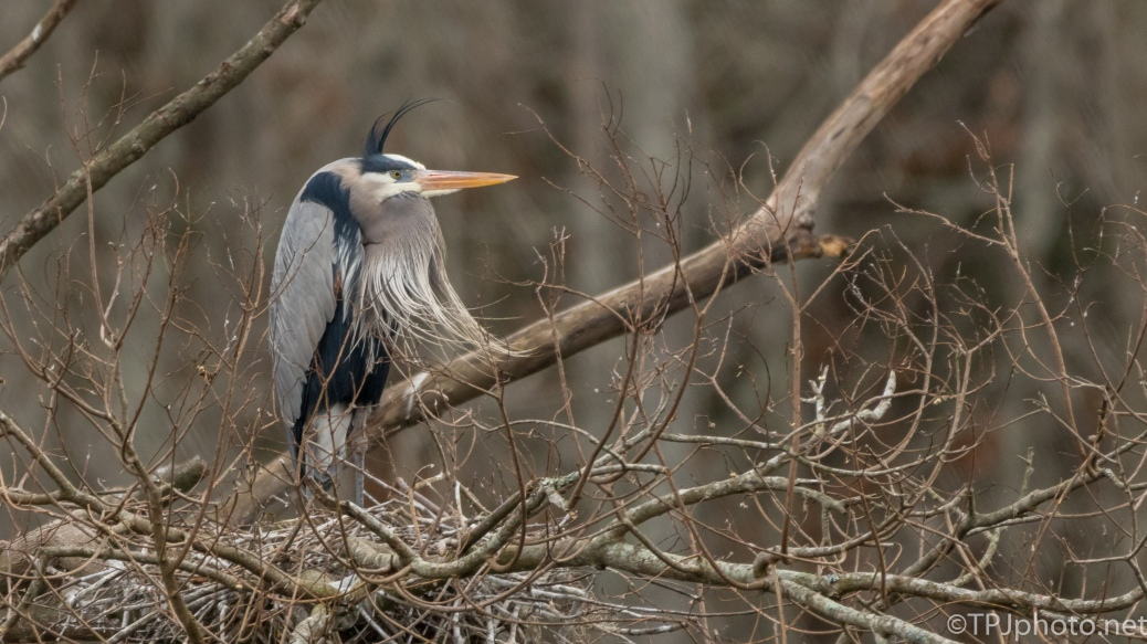 Another Windy Day Shot, Heron - click to enlarge