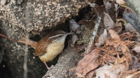 Digging Around, Carolina Wren - click to enlarge