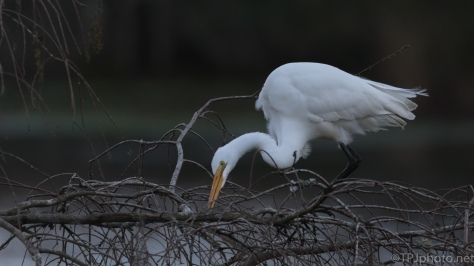 Quick Egret Shots - click to enlarge