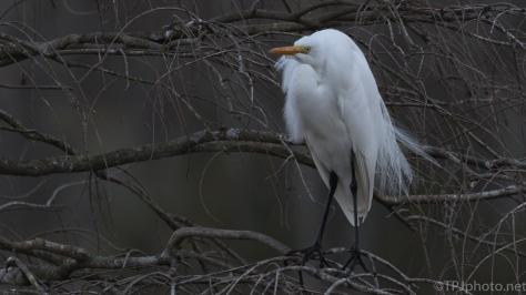 Quick Egret Shots - click to enlarge