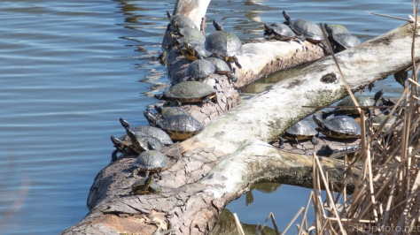 Turtles, Bunches Of Turtles - click to enlarge