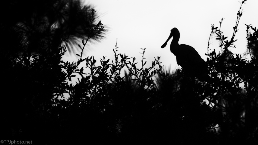 Spoonbill, Before Dawn - click to enlarge