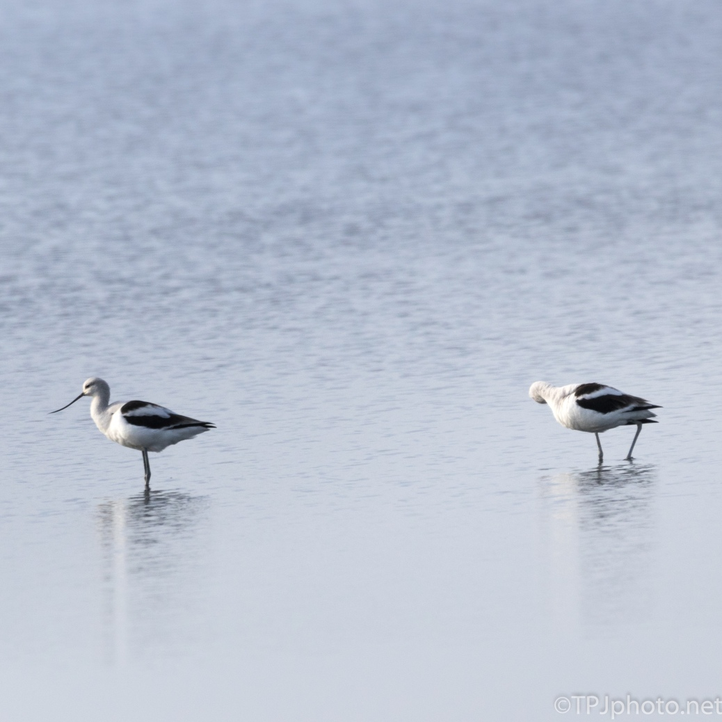 American Avocets - click to enlarge