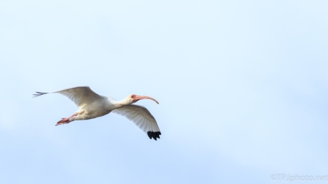 White Ibis In Flight - click to enlarge