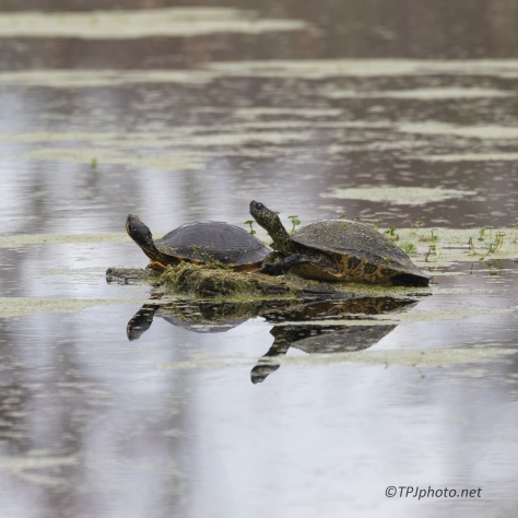 Sliders, Turtles - click to enlarge