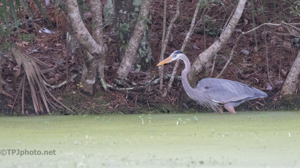 In A Little Deep, Heron - click to enlarge