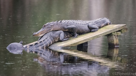 They Keep Getting Weirder, Alligators - click to enlarge