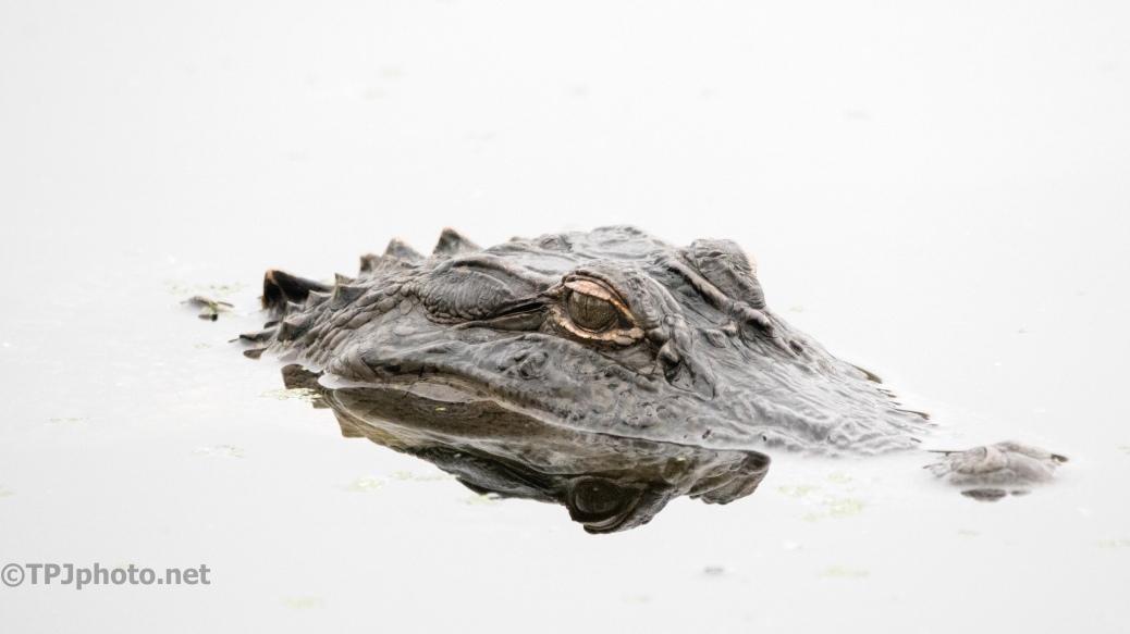 An Alligator Portrait - click to enlarge