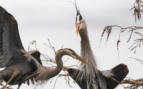 Another Conversation, Great Blue Herons - click to enlarge