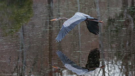 In Flight Reflection, Great Blue Heron - click to enlarge