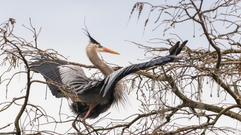 Capturing The Great Blue Heron At His Best - click to enlarge