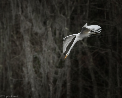 Night Arrival, Great Egret - click to enlarge