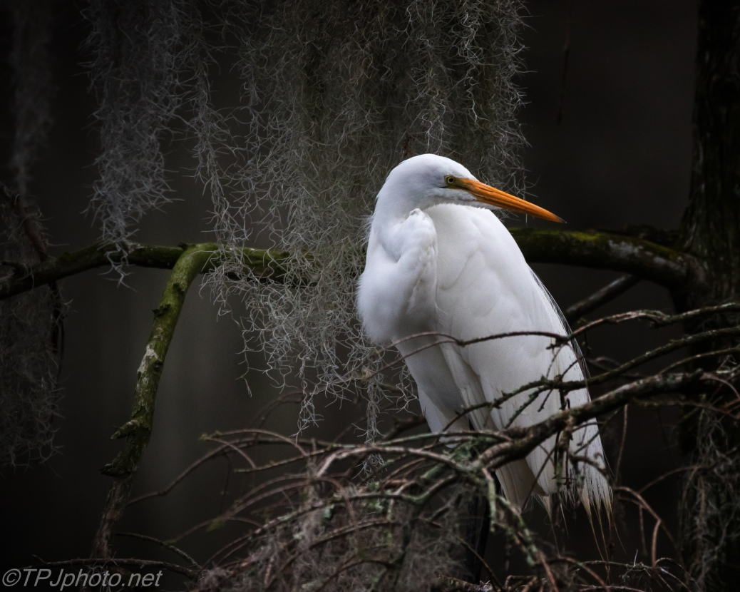 Great Egret, Looking For A Mate - click to enlarge