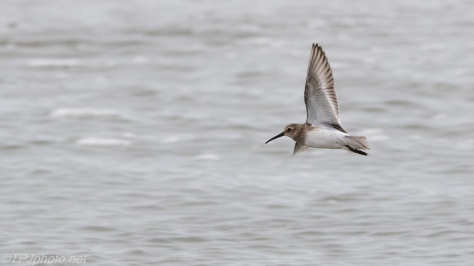 Sanderling, Maybe Jet Plane - click to enlarge