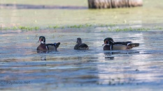 Wood Ducks Near A Rookery - click to enlarge