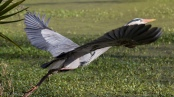 I Could Not Step Back Fast Enough, Heron - click to enlarge