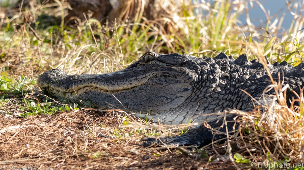 Keeping Teenage Habits, Alligator - click to enlarge