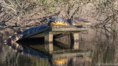 Togetherness, Alligator And Turtle - click to enlarge