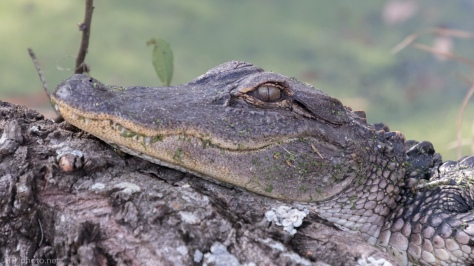Looked At Me, Promptly Fell Asleep, Alligator - click to enlarge