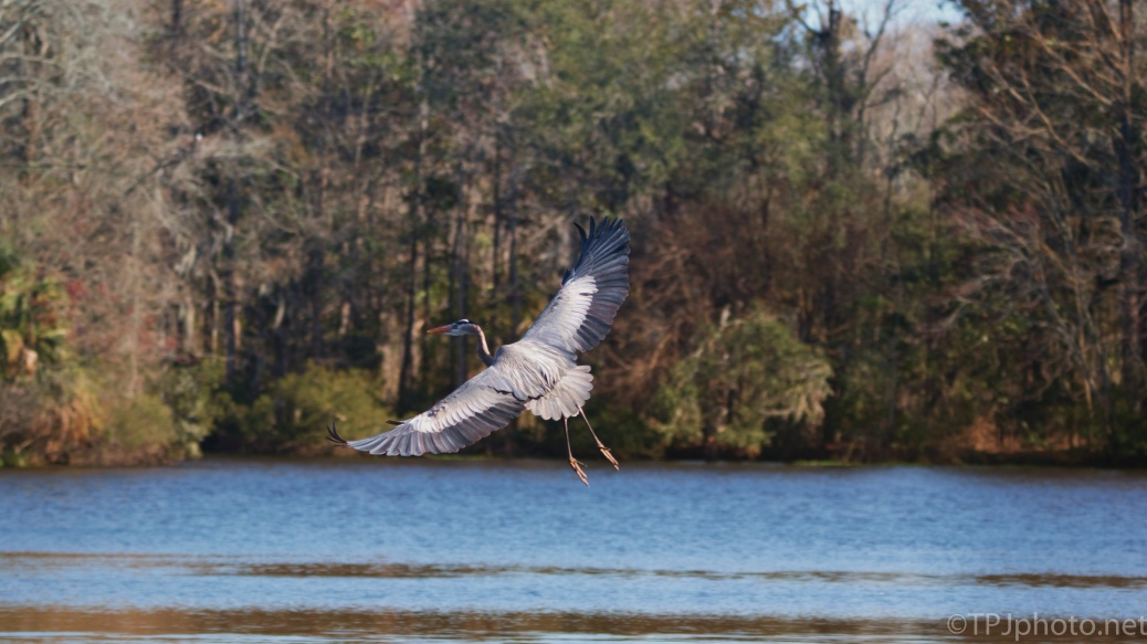 Low Flying Great Blue Heron - click to enlarge