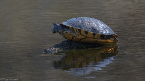 How Does This Happen, Turtle - click to enlarge