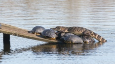 Alligators And Turtles, How They Share Space - click to enlarge