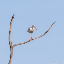 White Ibis Watching Below - click to enlarge