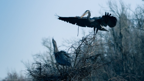 Blue Filter, Herons - click to enlarge