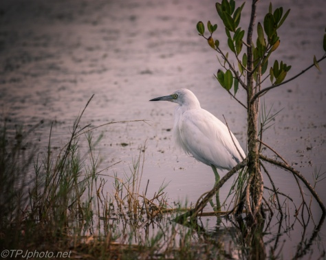 Little Blue Heron At Night - click to enlarge