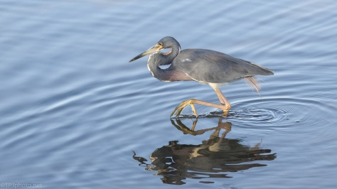 Pushing Through, Tricolored Heron - click to enlarge
