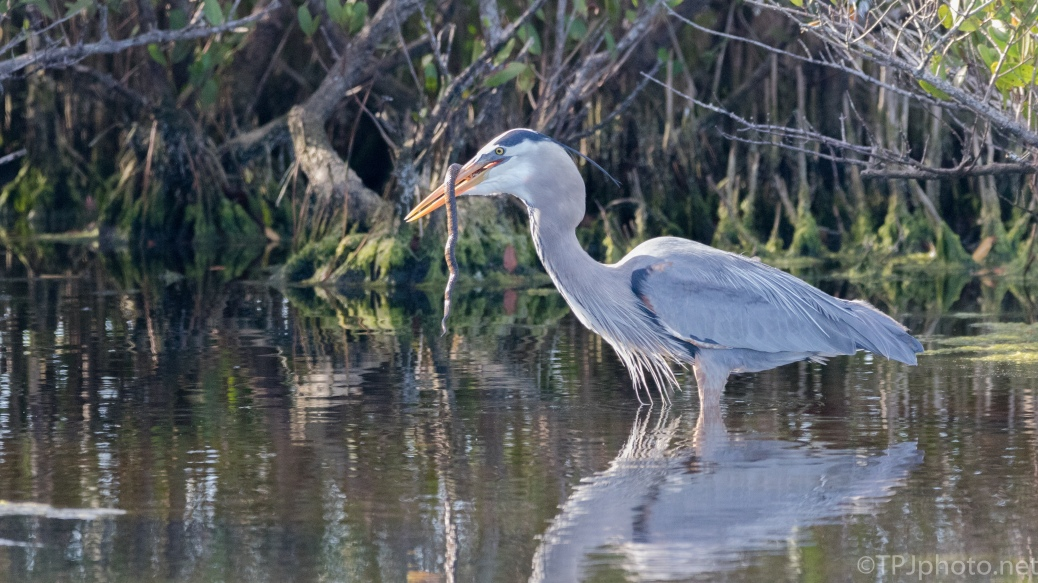 Great Blue Heron, Water Snake - click to enlarge