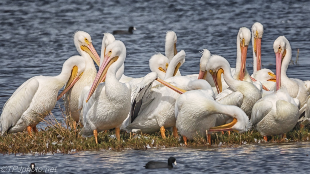 White Pelicans (1) - click to enlarge