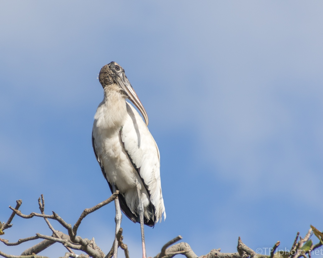 Wood Stork, Spring Looking Good Pose - click to enlarge