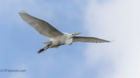 Great Egret, In Flight - click to enlarge