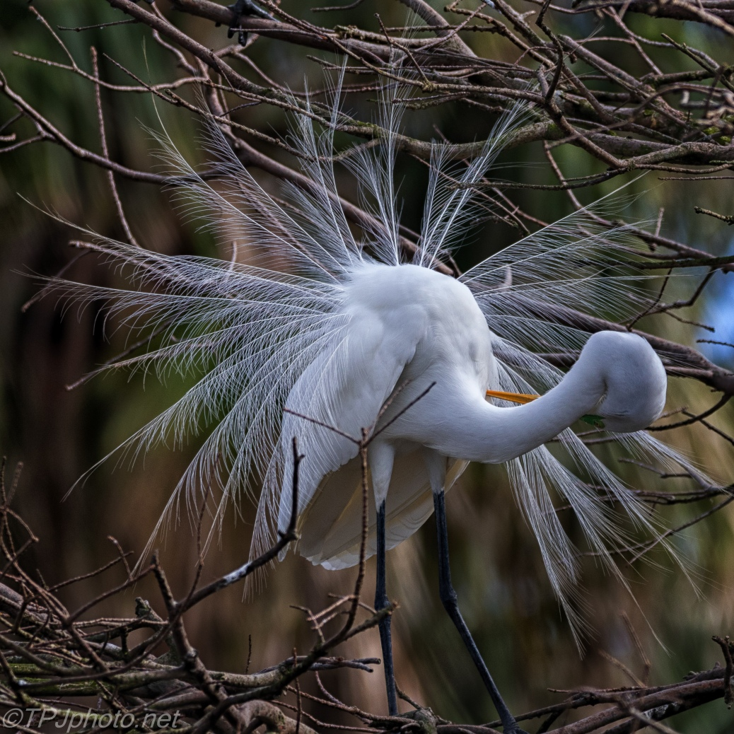 Mating Display, Great Egret - click to enlarge