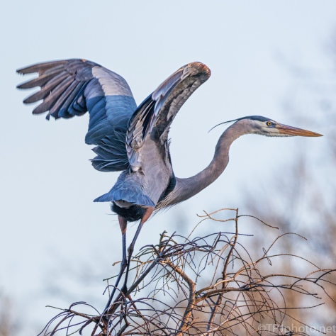 Take Off, Great Blue Heron - click to enlarge