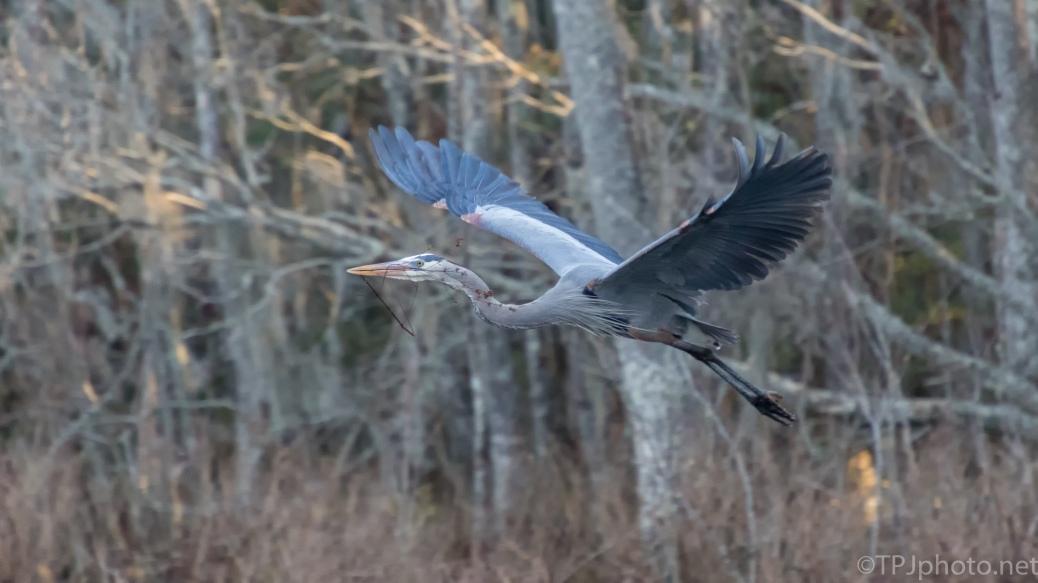 Return Trip, Great Blue Heron - click to enlarge