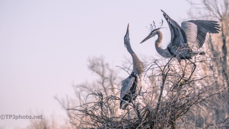 Delivering A Stick, Herons - click to enlarge