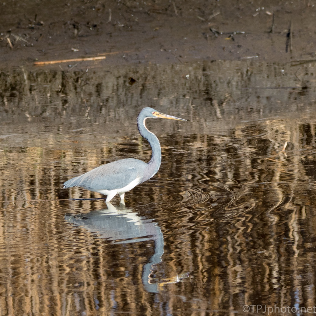Tricolored Heron And Reflections - click to enlarge